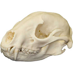 Natural Bone Skull, Raccoon