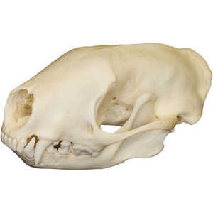 Natural Bone Skull, Striped Skunk