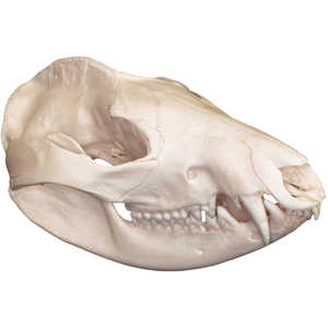 Natural Bone Skull, Opossum