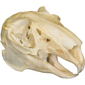 Natural Bone Skull, Rabbit