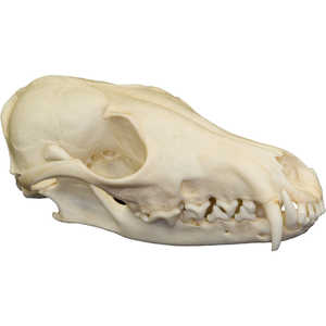 Natural Bone Skull, Red Fox