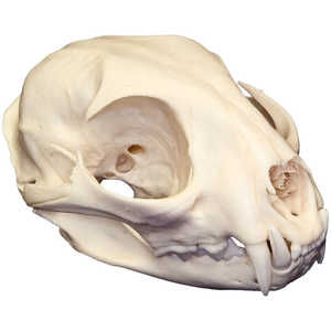 Natural Bone Skull, Bobcat