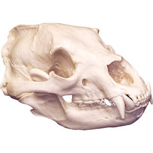 Replica Skull, Black Bear