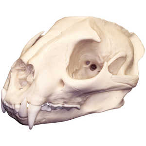 Replica Skull, Mountain Lion