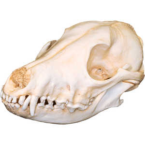 Natural Bone Skull, Coyote