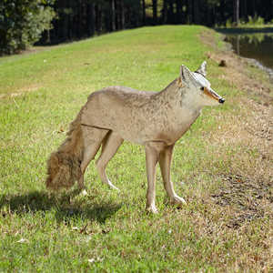 Lone Howler Goose-Repelling Coyote Decoy, 25-1/2˝H x 12˝W x 36˝L
