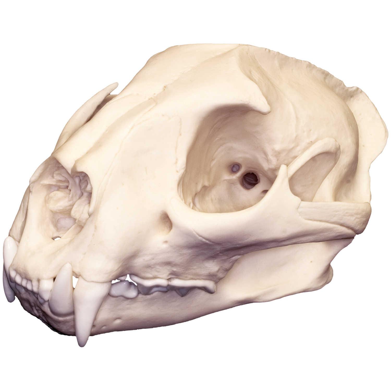 Teaching Quality Replica Mountain Beaver Skull
